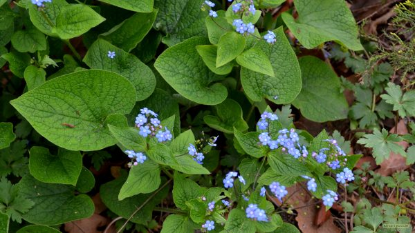 Flower wallpaper with forget-me-nots or Myosotis