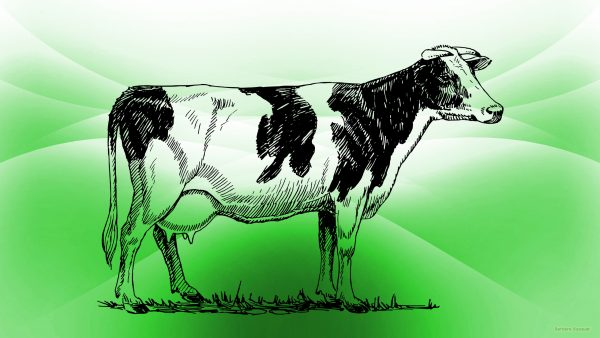 Green HD wallpaper with cow