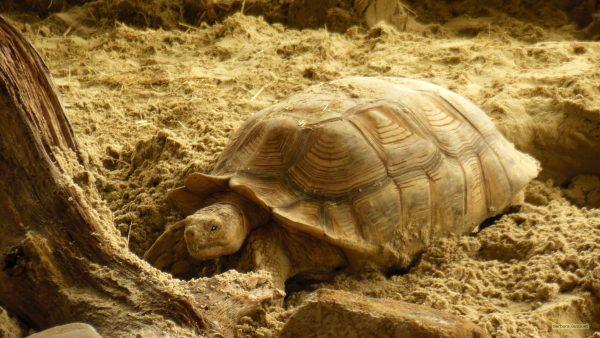 HD wallpaper Turtle digging in sand