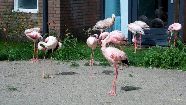 HD wallpaper flamingoes in yard