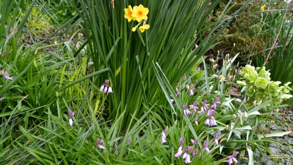 HD wallpaper purple flowers and daffodils