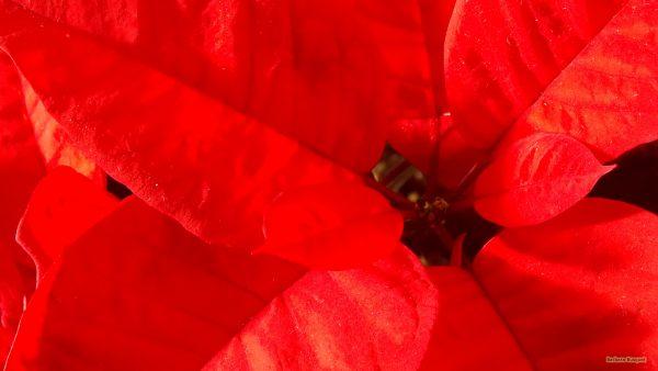 HD wallpaper red poinsettia