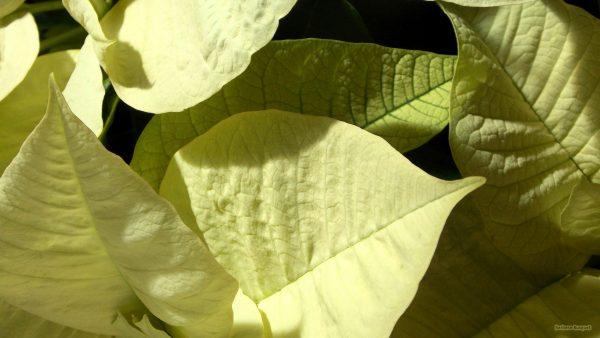 HD wallpaper white Poinsettia