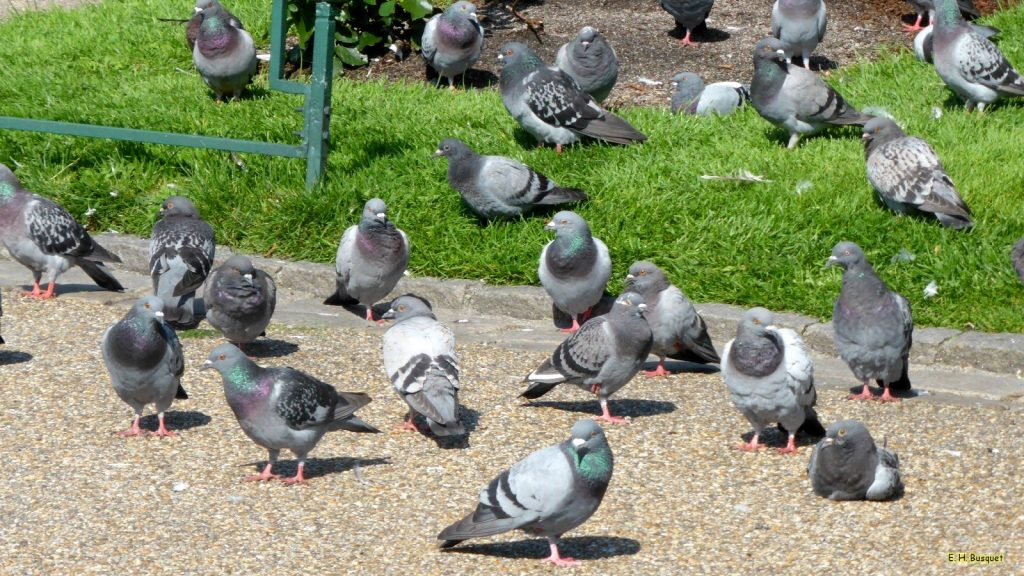 HD wallpaper with pigeons