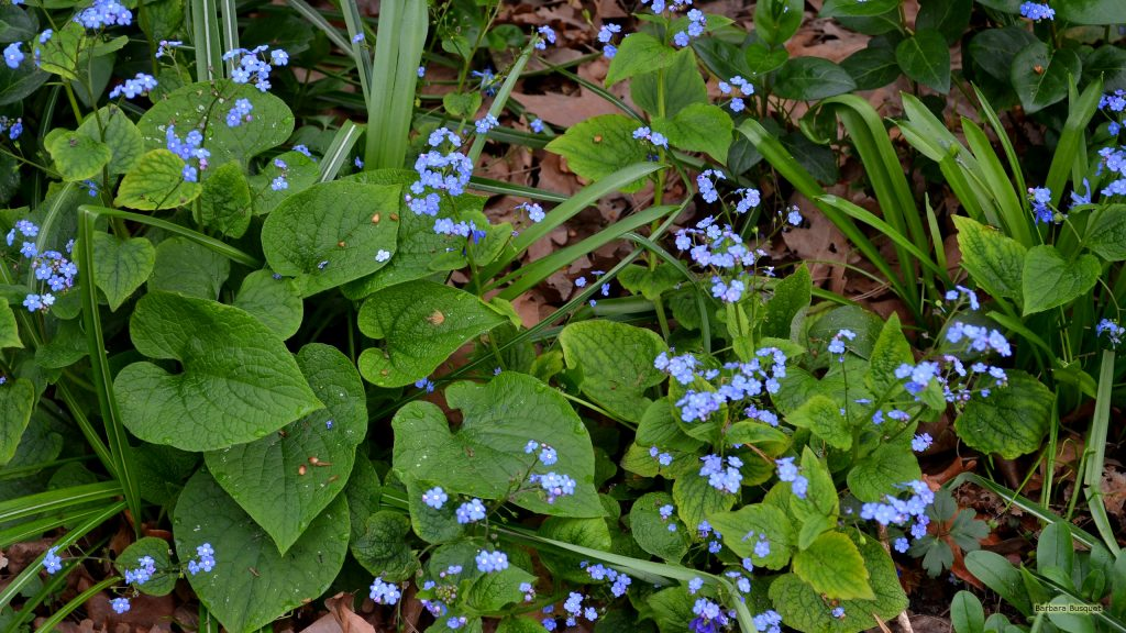 Spring wallpaper forget-me-nots