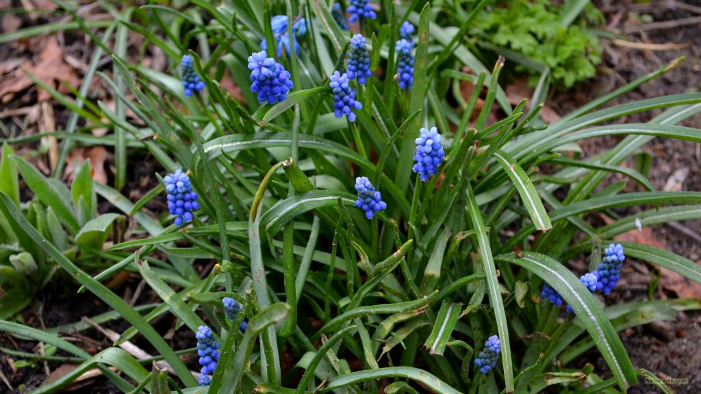 Spring wallpaper with grape hyacinths