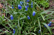 Grape hyacinths in spring