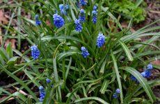 Grape hyacinths in spring