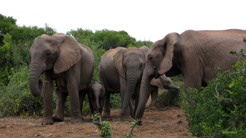 Elephant family in South Africa