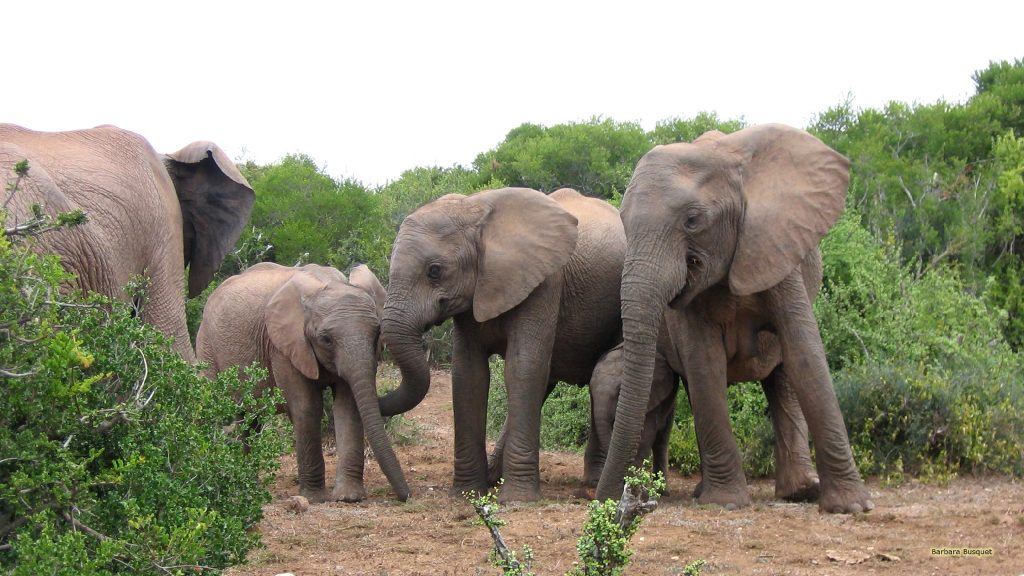 Elephants wallpaper young and adults