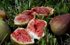 Figs and wasps
