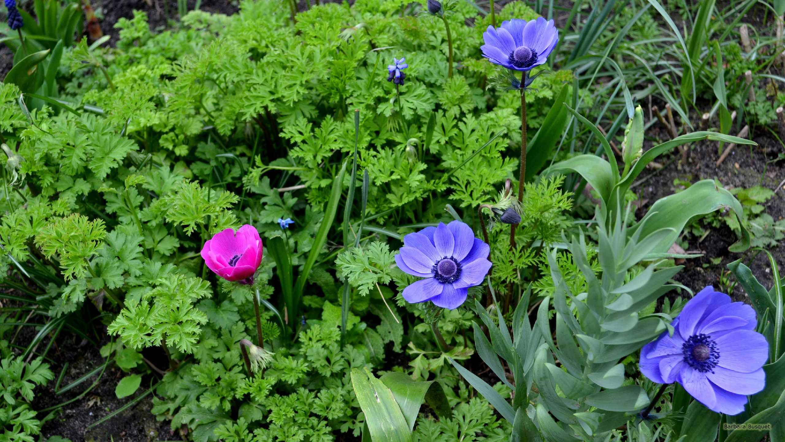 Purple Backyard Flowers : Garden wallpaper with purple flowers and one pink, between green