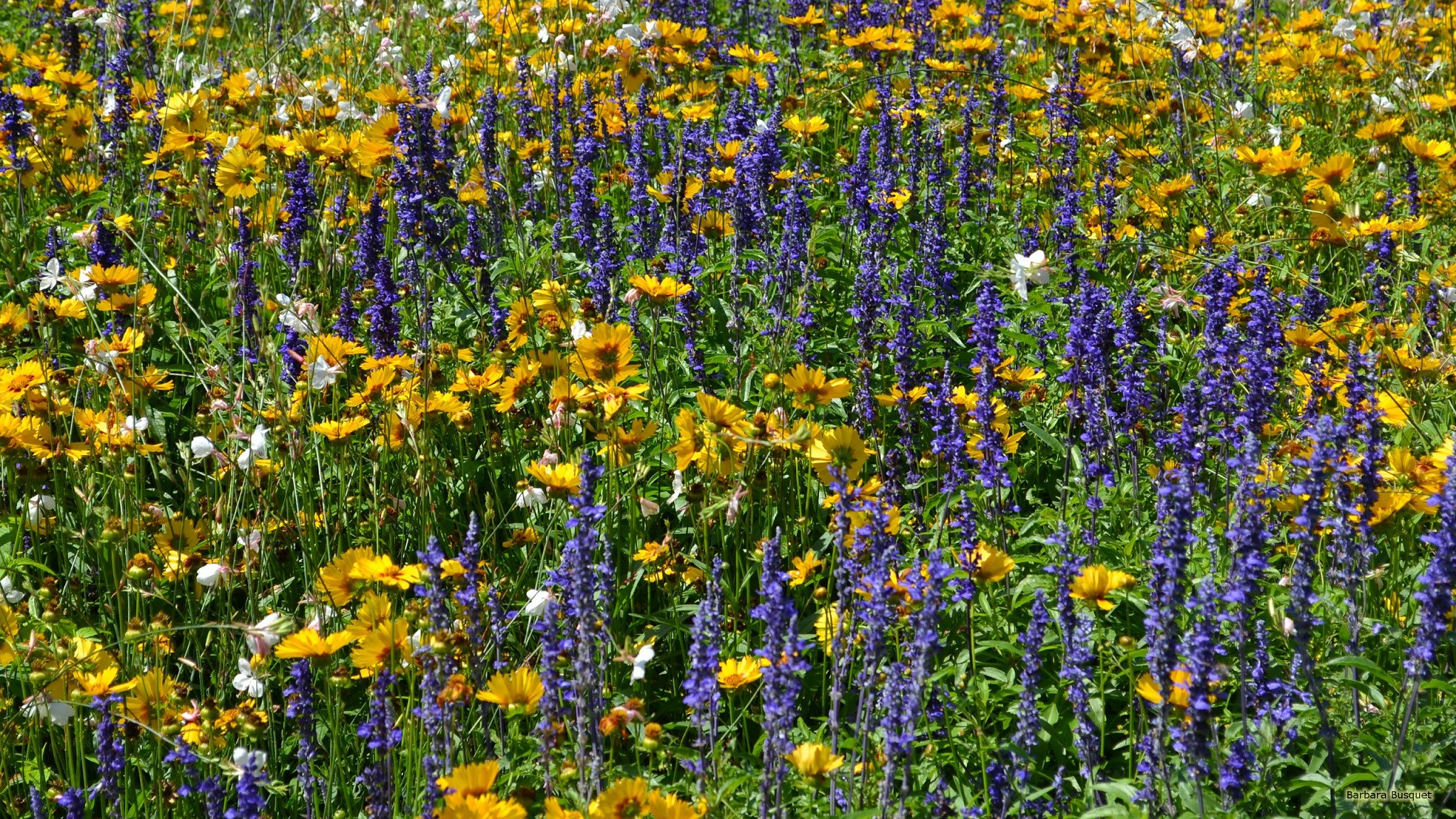 Field With Yellow And Purple Flowers Barbaras Hd Wallpapers