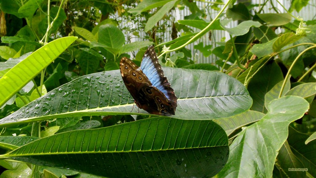 HD wallpaper Morpho peleides butterfly