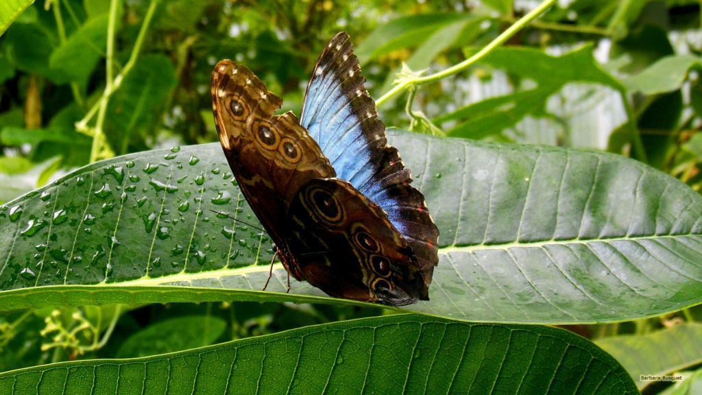 HD wallpaper Morpho peleides butterfly on leaf