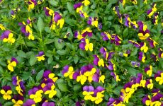 Yellow purple violets
