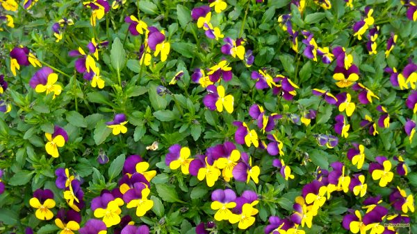 HD wallpaper Purple yellow violets