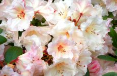 Rhododendron in spring