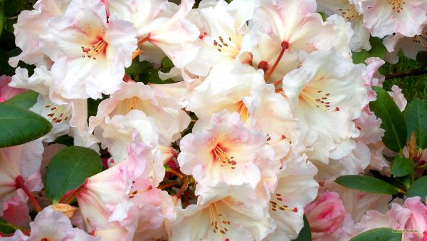 HD wallpaper Rhododendron flowers