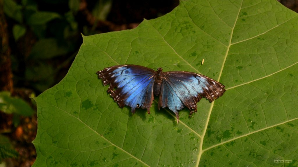 HD wallpaper black blue Butterfly on leaf