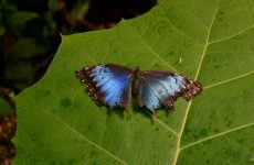Morpho peleides butterfly on leaf