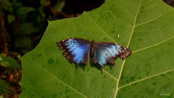 HD wallpaper black blue Butterfly on leaf