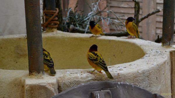 HD wallpaper black yellow birds on well