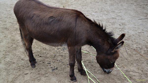 HD wallpaper dark brown donkey