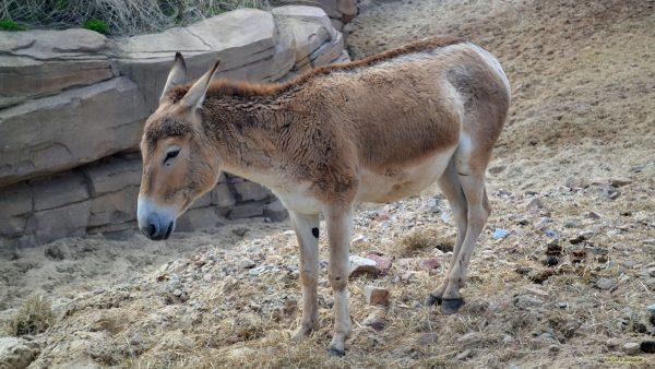 HD wallpaper light brown donkey