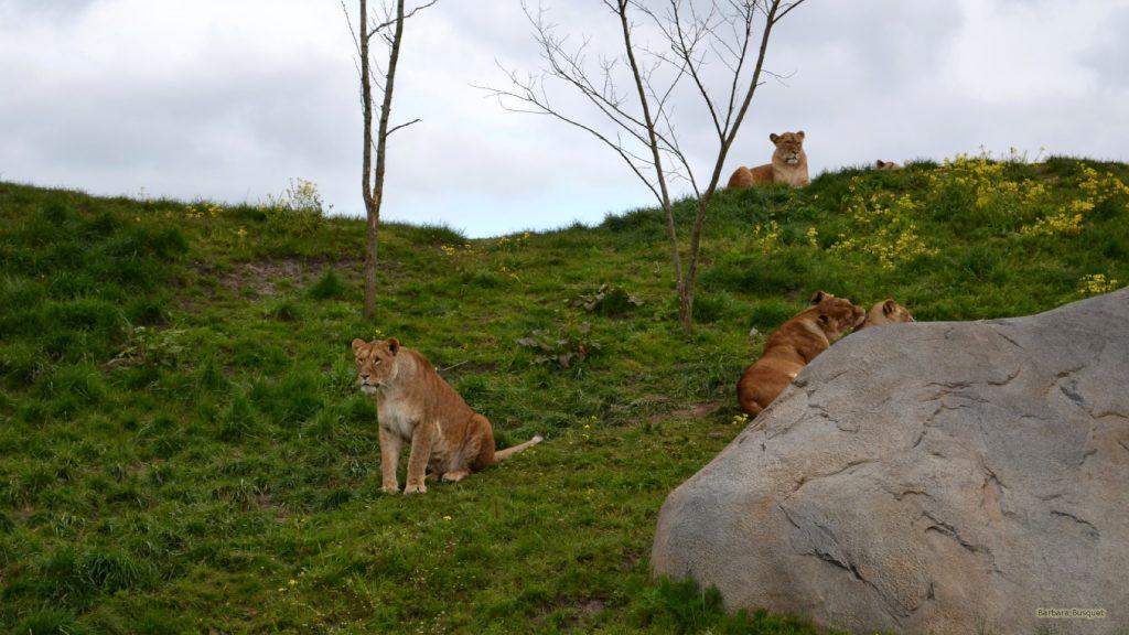HD wallpaper lions on green hill