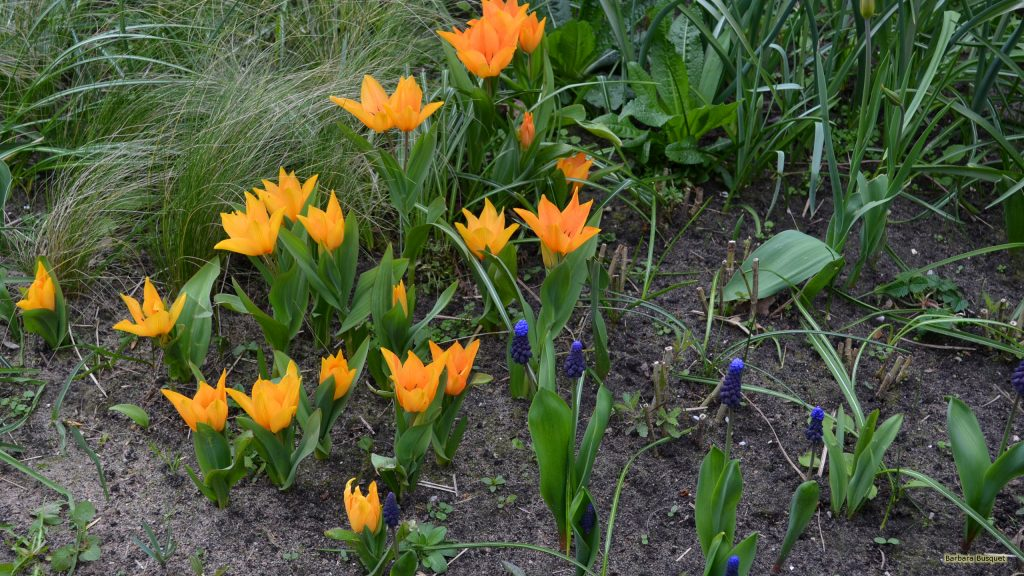 HD wallpaper orange flowers and grape hyacinths