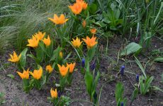 Grape hyacinths and orange flowers