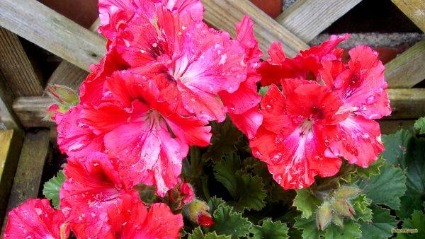 HD wallpaper pink geraniums