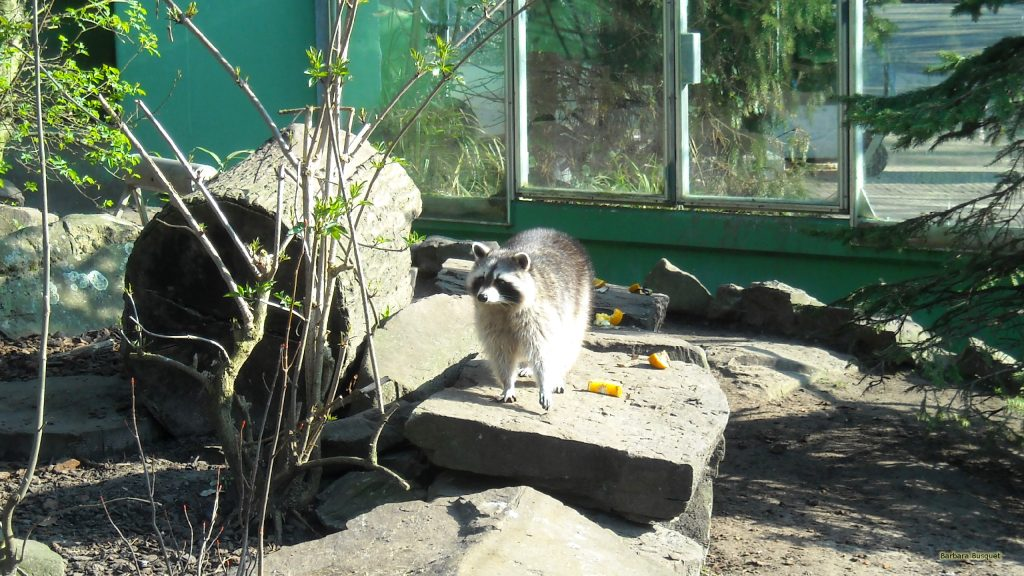 HD wallpaper raccoon in a zoo