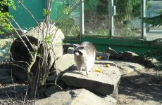 Raccoon in zoo