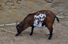 Tri-color goat