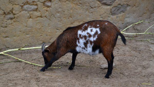 HD wallpaper tri-color goat