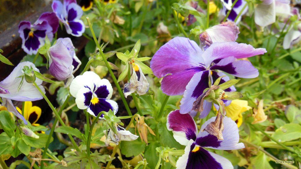 HD wallpaper violets