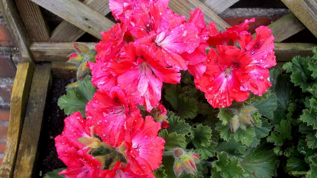 HD wallpaper with geraniums