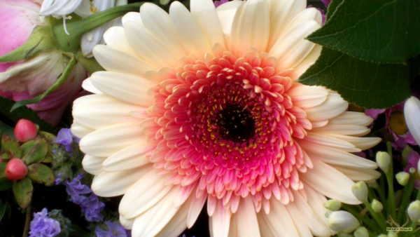 HD wallpaper with gerbera flower
