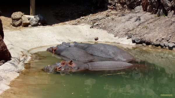 Hippos in the water of a zoo.