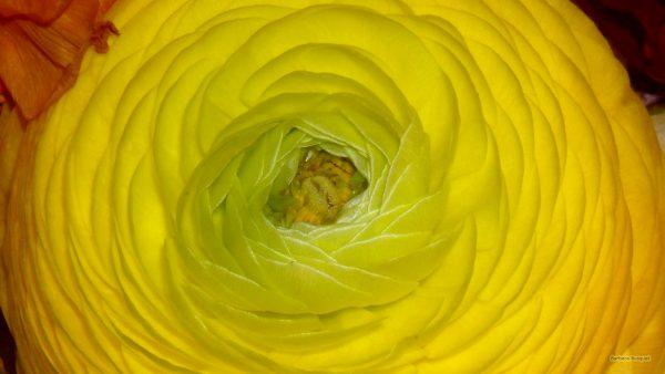 HD wallpaper yellow Persian buttercup