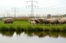 Sheep and utility poles