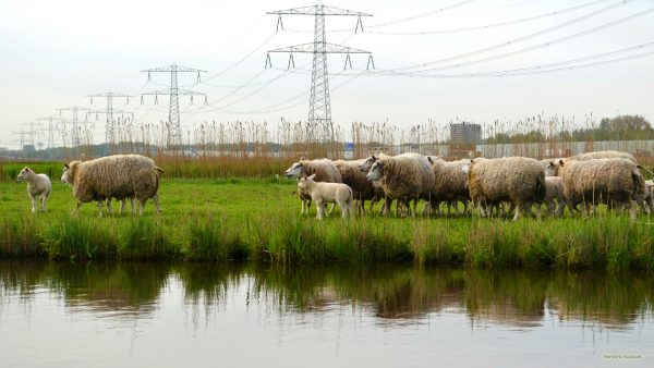 Meadows with sheep and utility poles