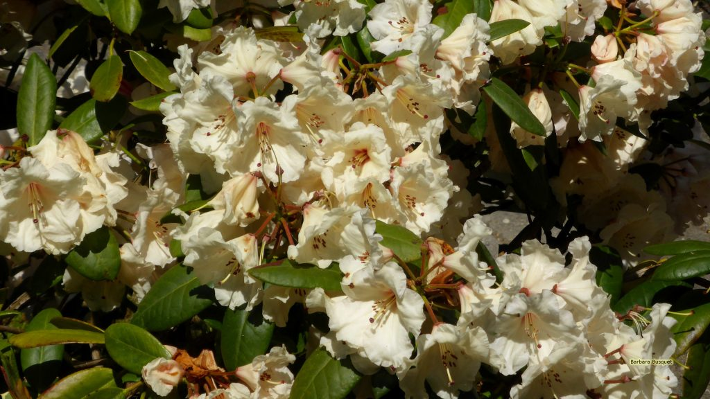 Rhododendron flowering in may