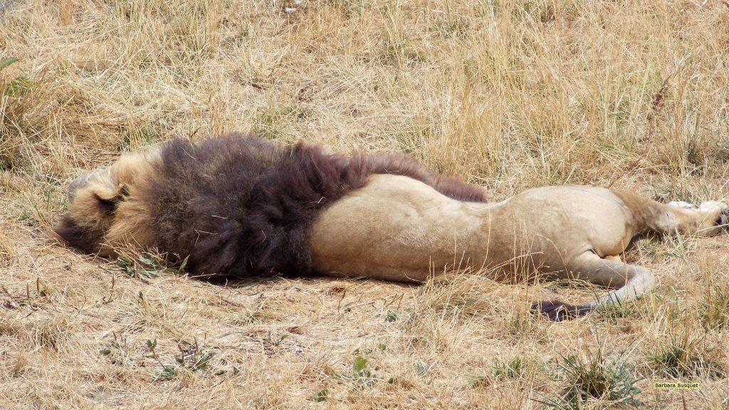Sleeping lion wallpaper