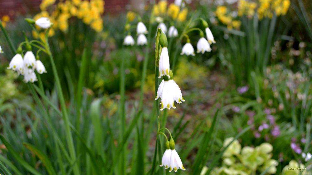 Spring wallpaper snowdrops and narcissus