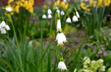 Snowdrops and narcissus