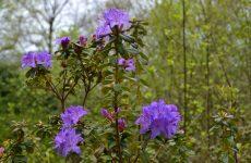 Purple blossom in spring