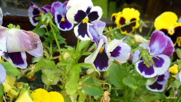 Summer wallpaper with viola flowers